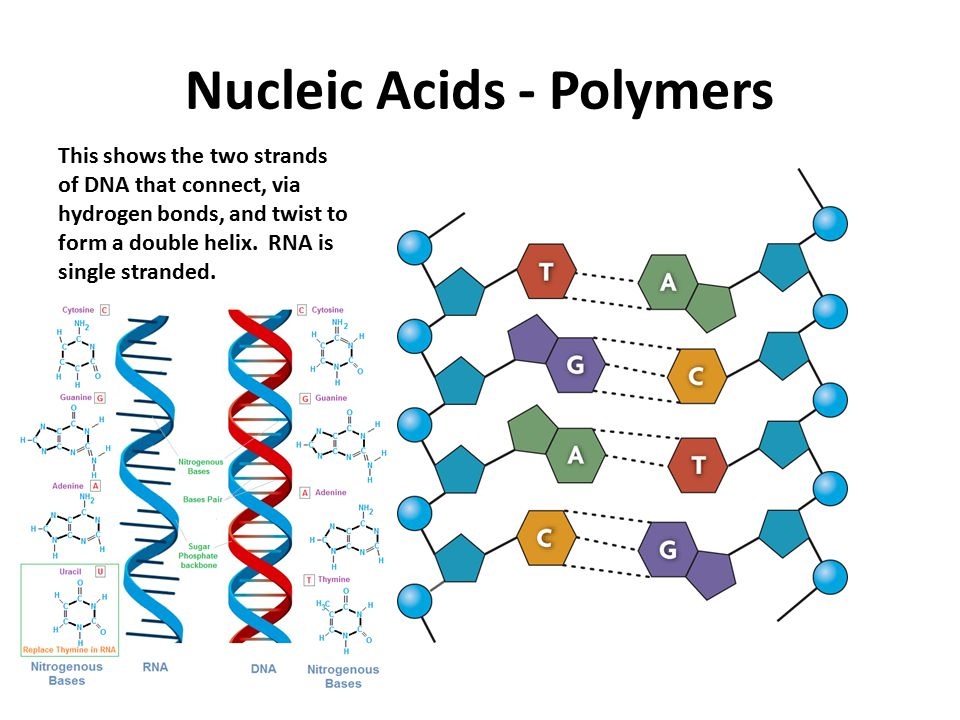 Nucleic Acids - Polymers This shows the two strands of DNA that connect, via hydrogen bonds, and twist to form a double helix.