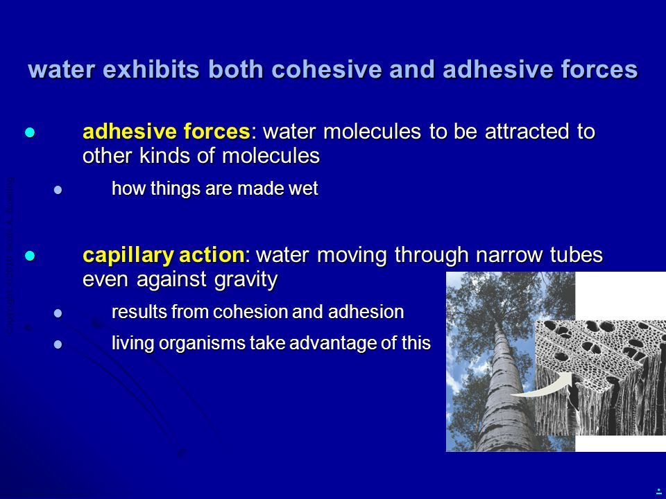 Copyright  2010 Scott A. Bowling. water exhibits both cohesive and adhesive forces adhesive forces: water molecules to be attracted to other kinds of