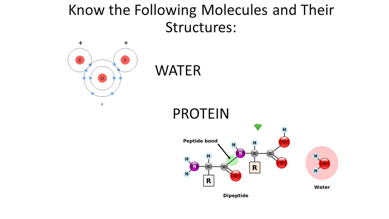 Know the Following Molecules and Their Structures: WATER PROTEIN
