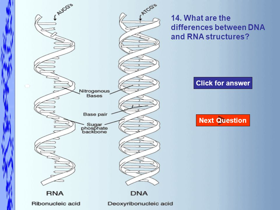 14. What are the differences between DNA and RNA structures Click for answer Next Question