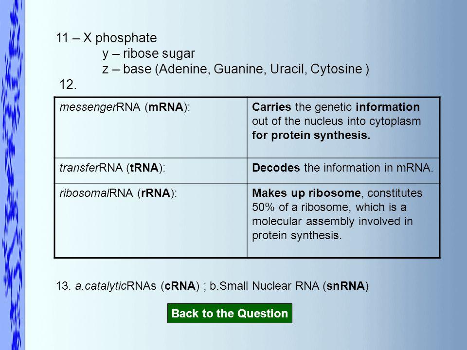 11 – X phosphate y – ribose sugar z – base (Adenine, Guanine, Uracil, Cytosine ) 12.