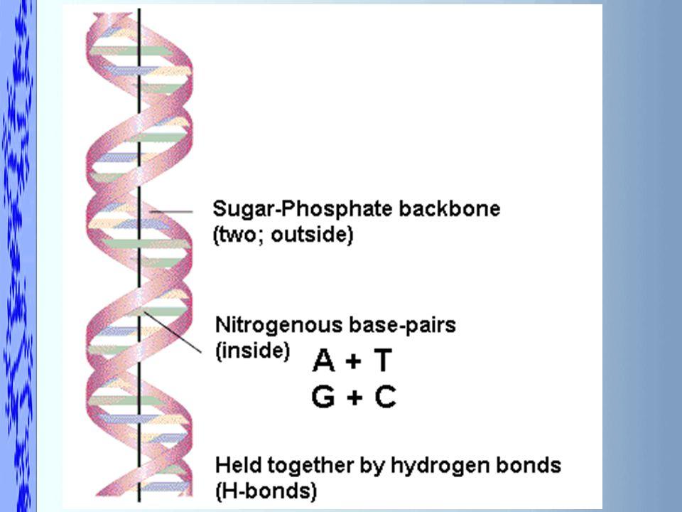 4.X – Purine (Adenine, Guanine) Y – Pyrimidine (Cytosine, Guanine, Uracil) Back to the Question