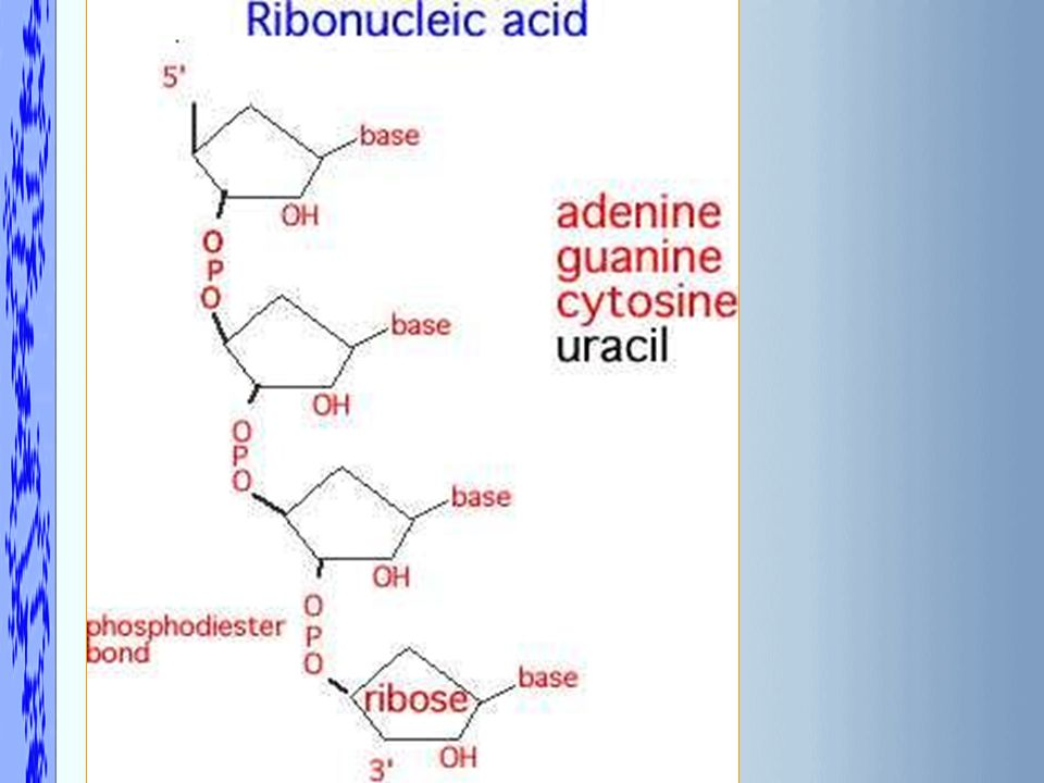 14. What are the differences between DNA and RNA structures? Click for answer Next Question