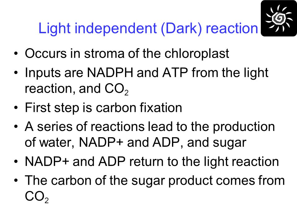 Light independent (Dark) reaction Occurs in stroma of the chloroplast Inputs are NADPH and ATP from the light reaction, and CO 2 First step is carbon fixation A series of reactions lead to the production of water, NADP+ and ADP, and sugar NADP+ and ADP return to the light reaction The carbon of the sugar product comes from CO 2