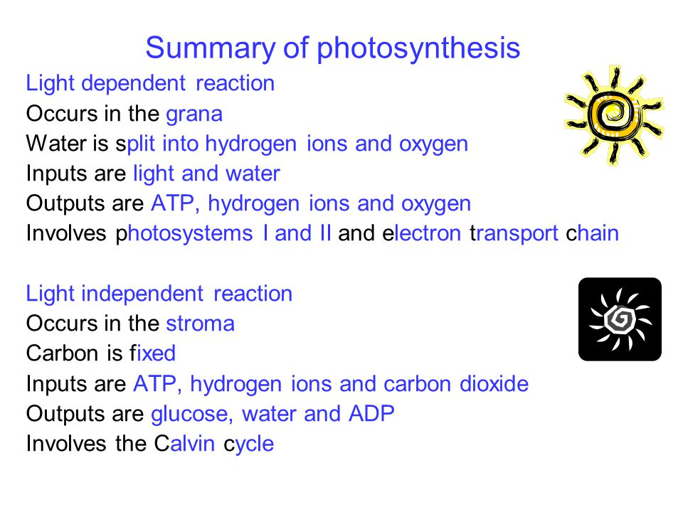 Summary of photosynthesis Light dependent reaction Occurs in the grana Water is split into hydrogen ions and oxygen Inputs are light and water Outputs are ATP, hydrogen ions and oxygen Involves photosystems I and II and electron transport chain Light independent reaction Occurs in the stroma Carbon is fixed Inputs are ATP, hydrogen ions and carbon dioxide Outputs are glucose, water and ADP Involves the Calvin cycle