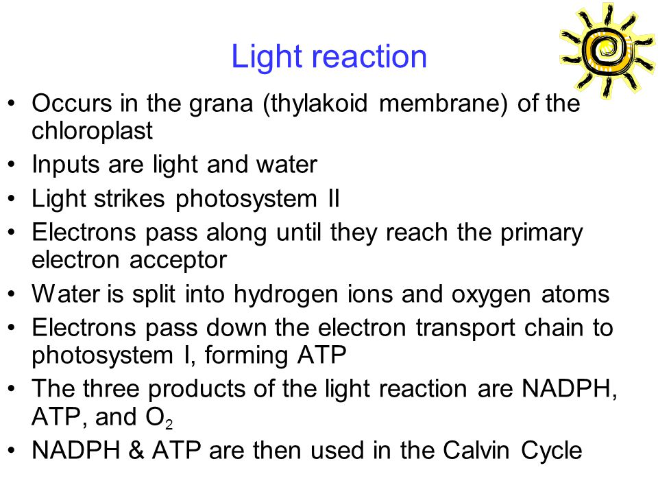 Light reaction Occurs in the grana (thylakoid membrane) of the chloroplast Inputs are light and water Light strikes photosystem II Electrons pass along until they reach the primary electron acceptor Water is split into hydrogen ions and oxygen atoms Electrons pass down the electron transport chain to photosystem I, forming ATP The three products of the light reaction are NADPH, ATP, and O 2 NADPH & ATP are then used in the Calvin Cycle