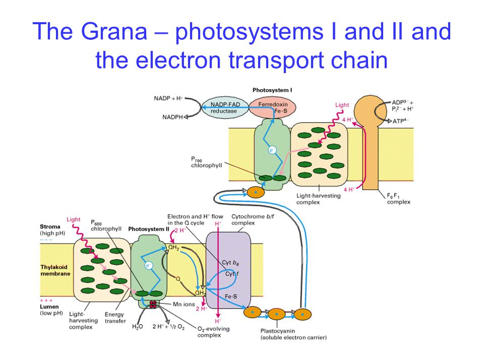 The Grana – photosystems I and II and the electron transport chain
