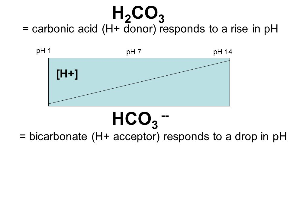 H 2 CO 3 HCO 3 -- = carbonic acid (H+ donor) responds to a rise in pH = bicarbonate (H+ acceptor) responds to a drop in pH [H+] pH 1 pH 7pH 14