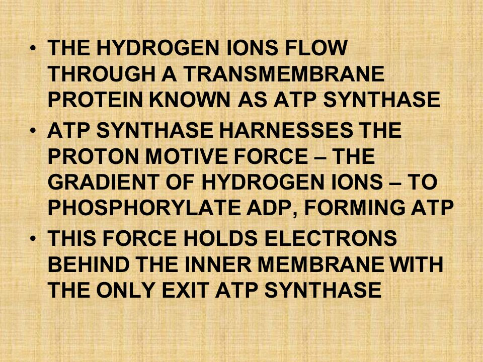 THE HYDROGEN IONS FLOW THROUGH A TRANSMEMBRANE PROTEIN KNOWN AS ATP SYNTHASE ATP SYNTHASE HARNESSES THE PROTON MOTIVE FORCE – THE GRADIENT OF HYDROGEN