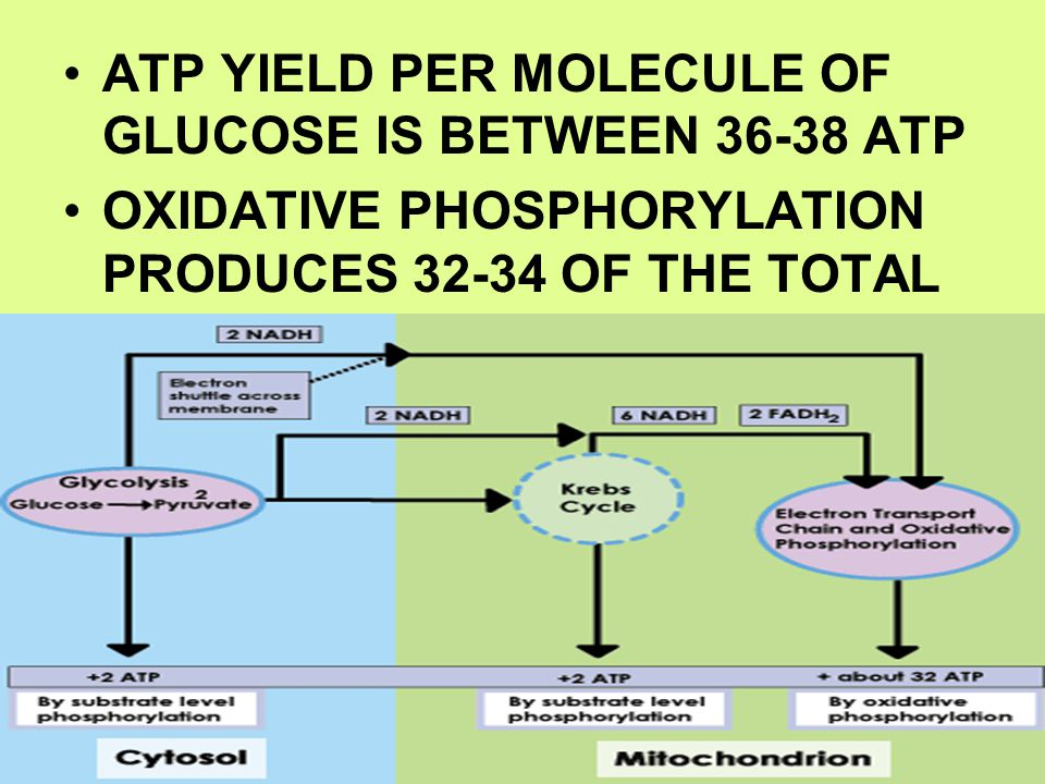 ATP YIELD PER MOLECULE OF GLUCOSE IS BETWEEN 36-38 ATP OXIDATIVE PHOSPHORYLATION PRODUCES 32-34 OF THE TOTAL
