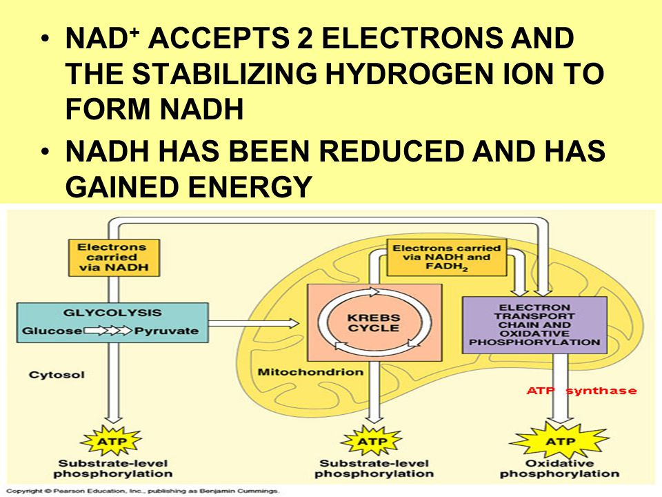 NAD + ACCEPTS 2 ELECTRONS AND THE STABILIZING HYDROGEN ION TO FORM NADH NADH HAS BEEN REDUCED AND HAS GAINED ENERGY