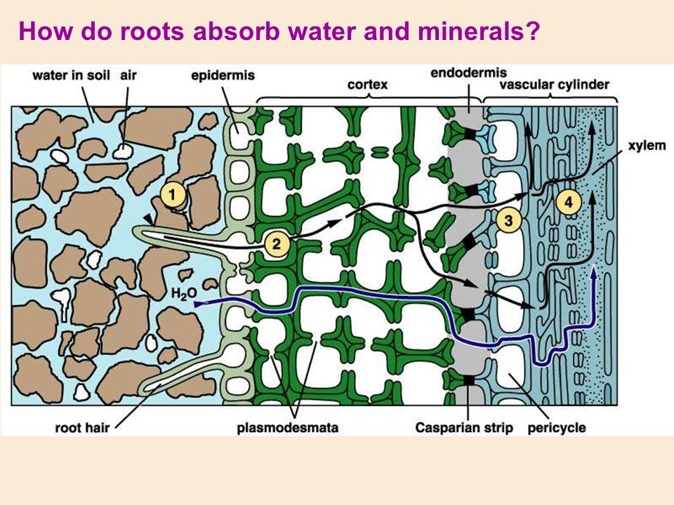How do roots absorb water and minerals?