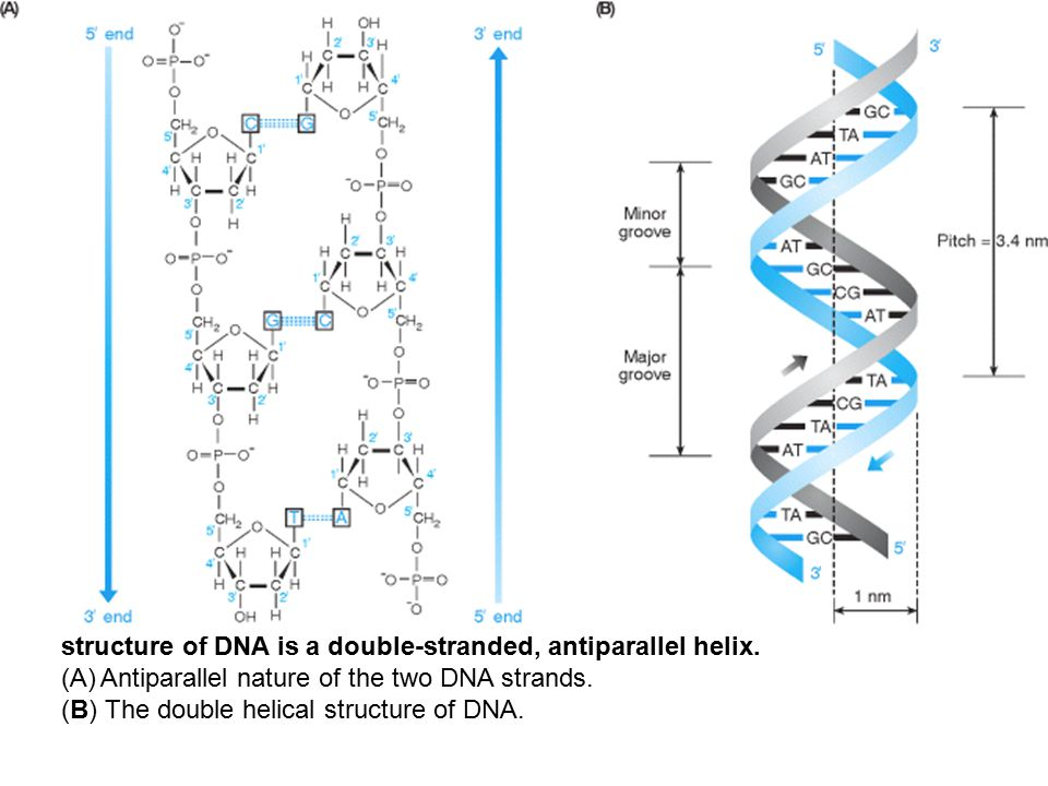 structure of DNA is a double-stranded, antiparallel helix.