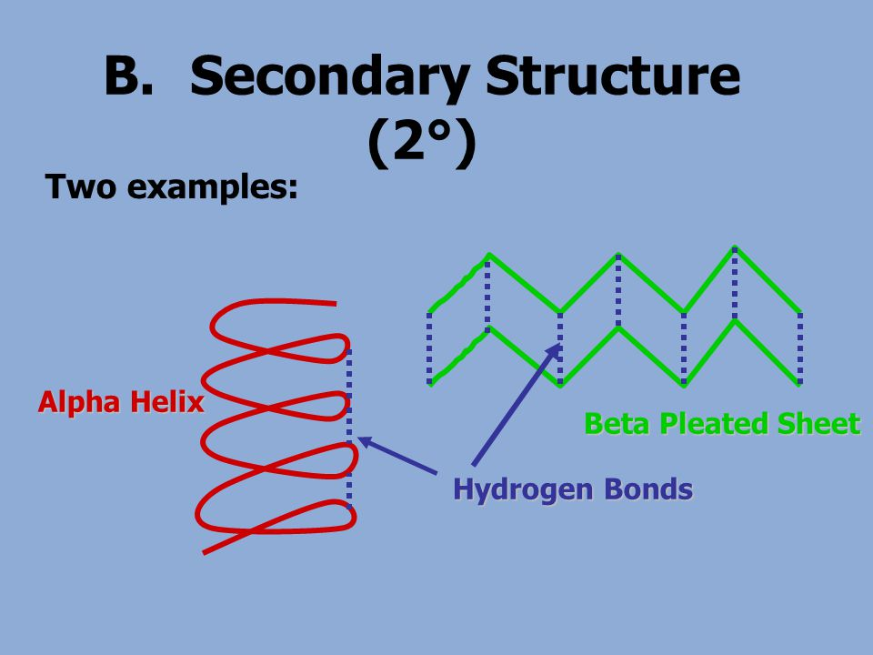 B.Secondary Structure (2°) Two examples: Alpha Helix Beta Pleated Sheet Hydrogen Bonds