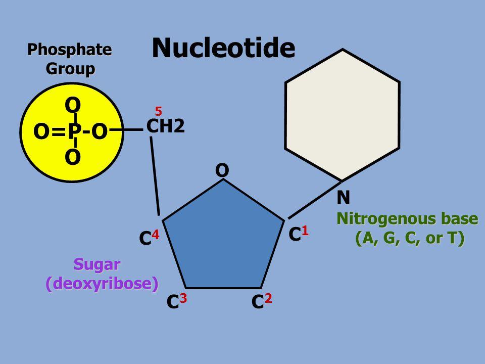 Nucleotide O O=P-O OPhosphate Group Group N Nitrogenous base (A, G, C, or T) (A, G, C, or T) CH2 O C1C1 C4C4 C3C3 C2C2 5 Sugar Sugar(deoxyribose)