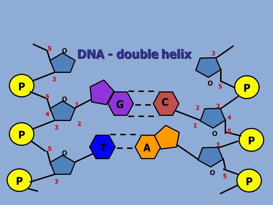 DNA - double helix P P P O O O 1 2 3 4 5 5 3 3 5 P P P O O O 1 2 3 4 5 5 3 5 3 G C TA
