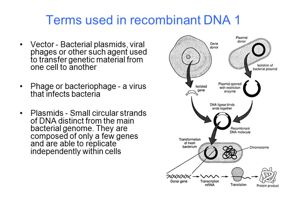 Terms used in recombinant DNA 1 Vector - Bacterial plasmids, viral phages or other such agent used to transfer genetic material from one cell to another Phage or bacteriophage - a virus that infects bacteria Plasmids - Small circular strands of DNA distinct from the main bacterial genome.
