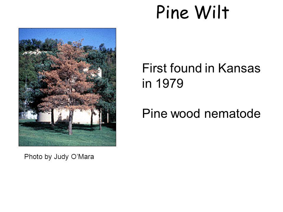 First found in Kansas in 1979 Pine wood nematode Pine Wilt Photo by Judy O'Mara