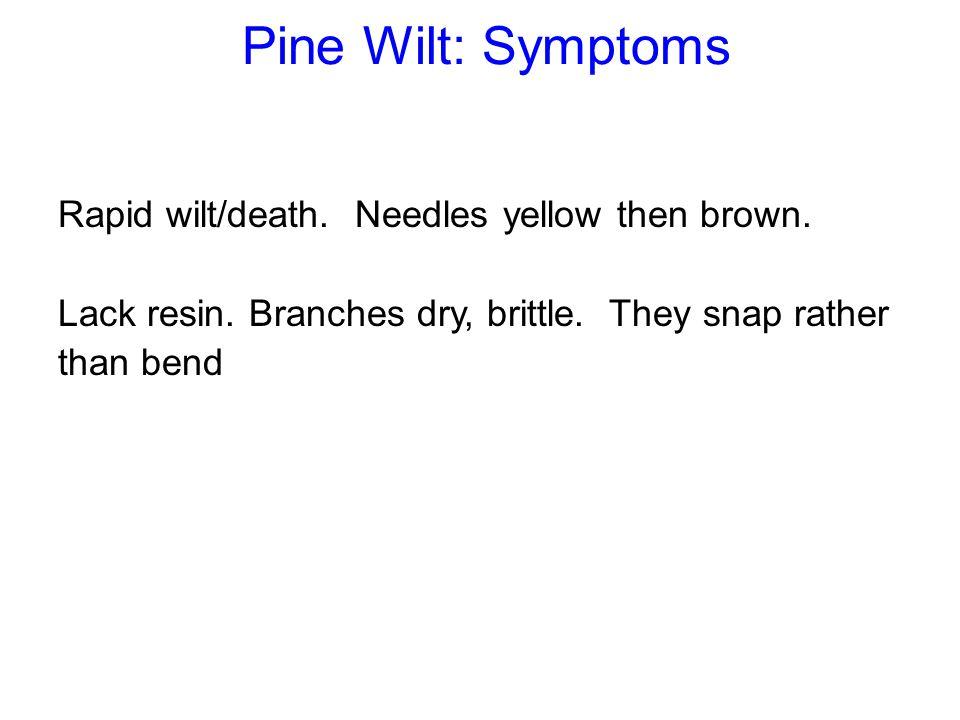 Pine Wilt: Symptoms Rapid wilt/death. Needles yellow then brown.