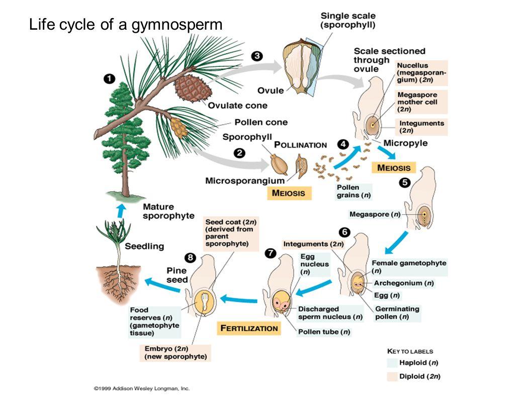 Life cycle of a gymnosperm