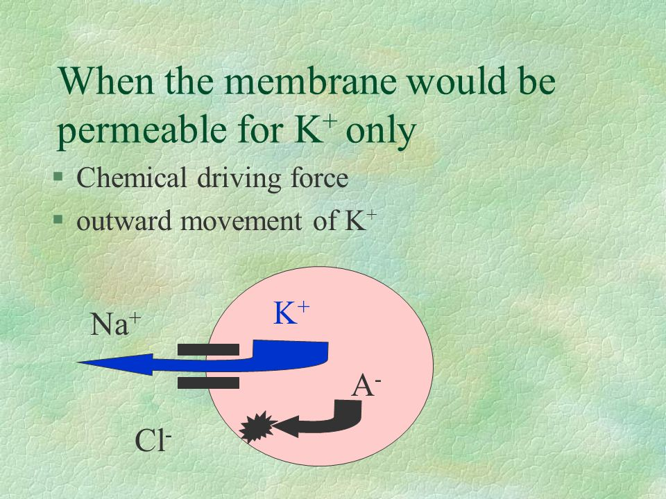 When the membrane would be permeable for K + only §Chemical driving force §outward movement of K + K+K+ A-A- Na + Cl -