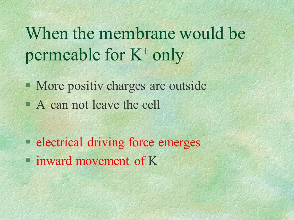 When the membrane would be permeable for K + only §More positiv charges are outside §A - can not leave the cell §electrical driving force emerges §inward movement of K +