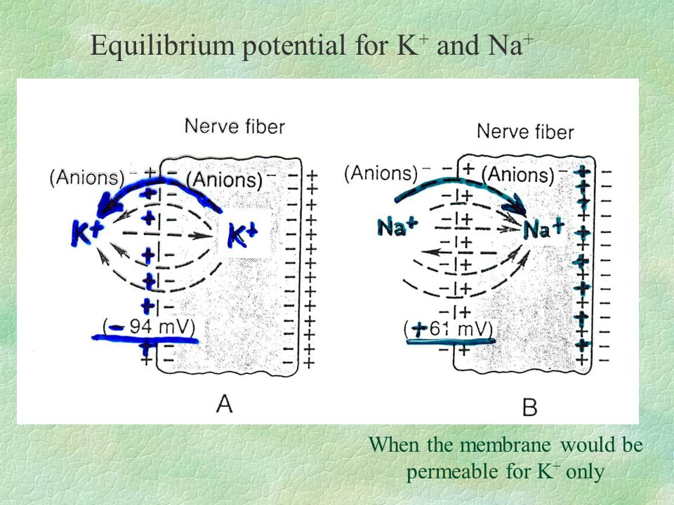 Equilibrium potential for K + and Na + When the membrane would be permeable for K + only