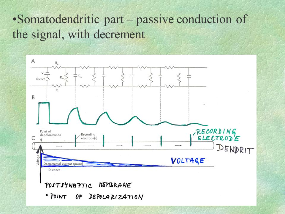 Somatodendritic part – passive conduction of the signal, with decrement