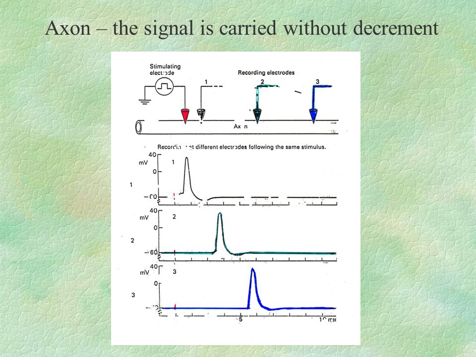 Axon – the signal is carried without decrement