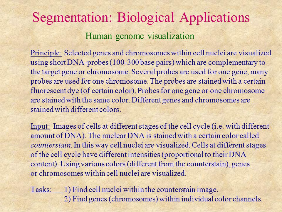 Segmentation: Biological Applications Human genome visualization Principle: Selected genes and chromosomes within cell nuclei are visualized using short DNA-probes (100-300 base pairs) which are complementary to the target gene or chromosome.