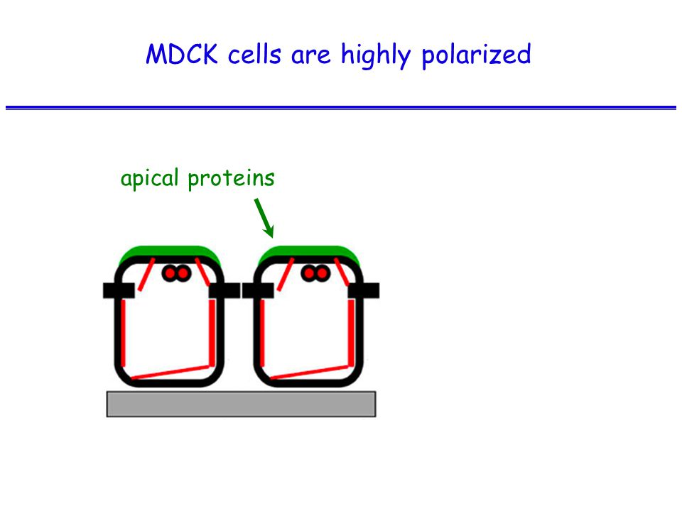 apical proteins