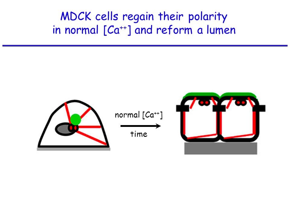 MDCK cells regain their polarity in normal [Ca ++ ] and reform a lumen normal [Ca ++ ] time