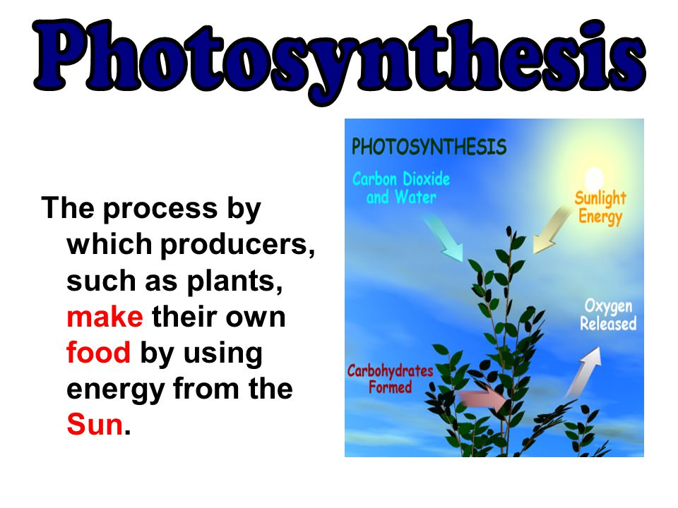 The process by which producers, such as plants, make their own food by using energy from the Sun.