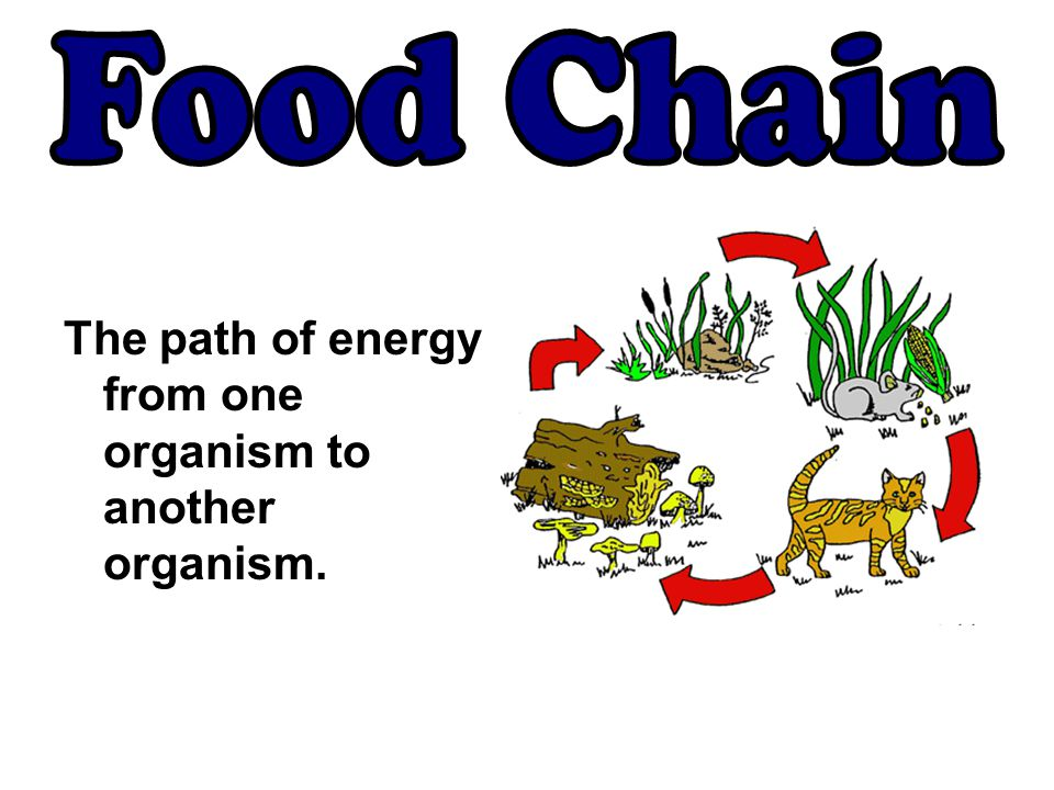 The path of energy from one organism to another organism.