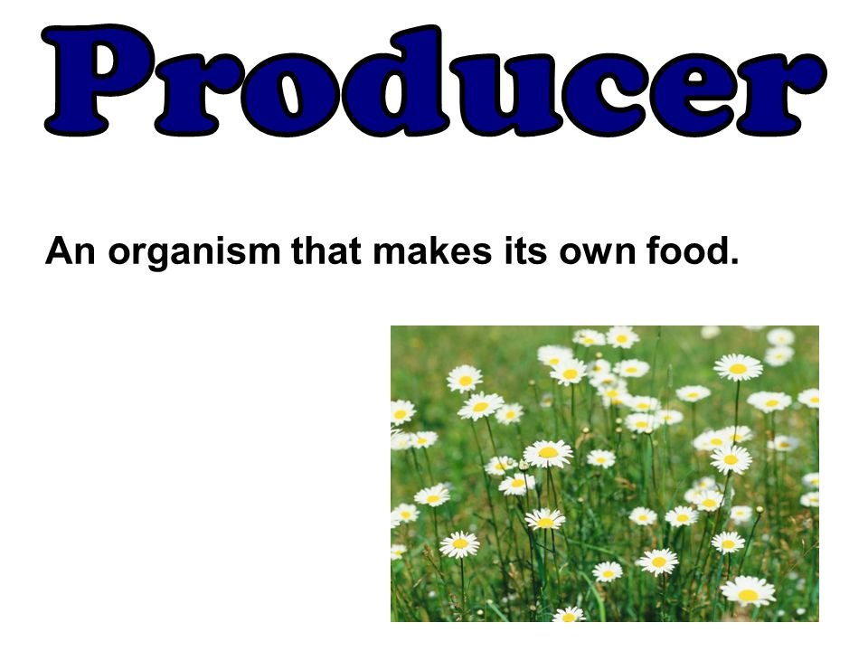 An organism that makes its own food.