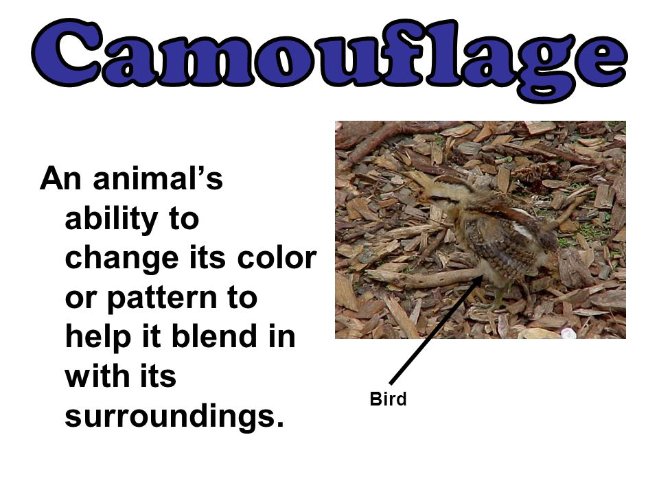 An animal's ability to change its color or pattern to help it blend in with its surroundings. Bird