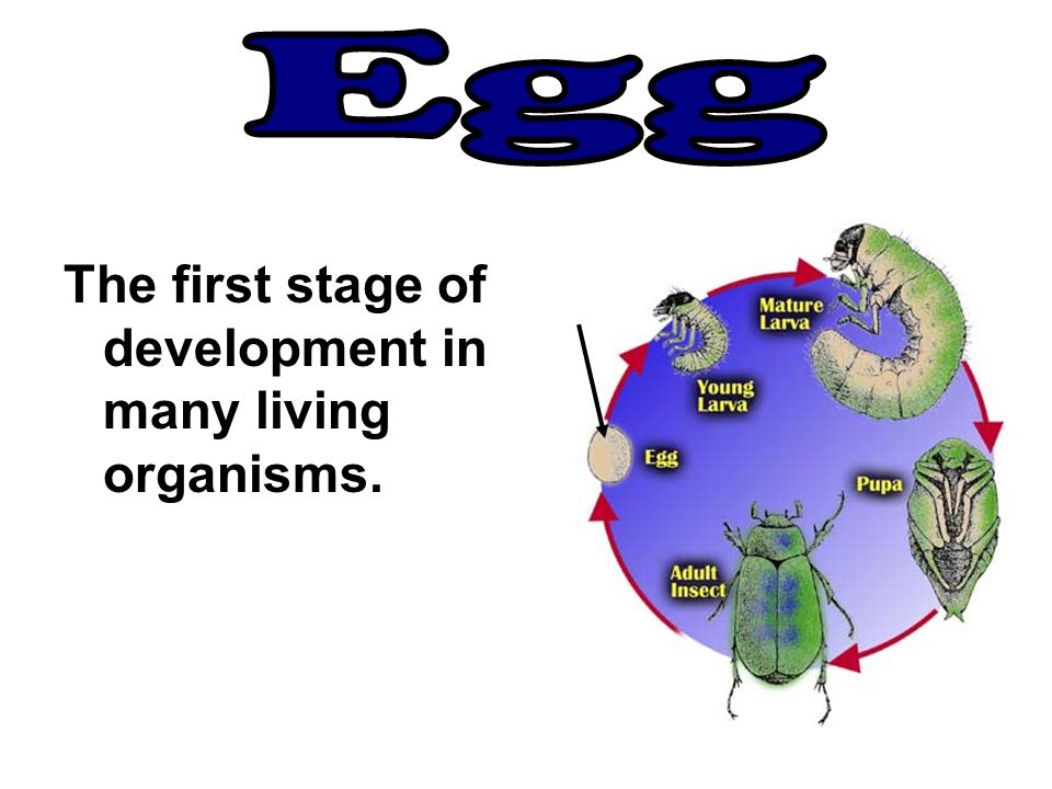 The first stage of development in many living organisms.