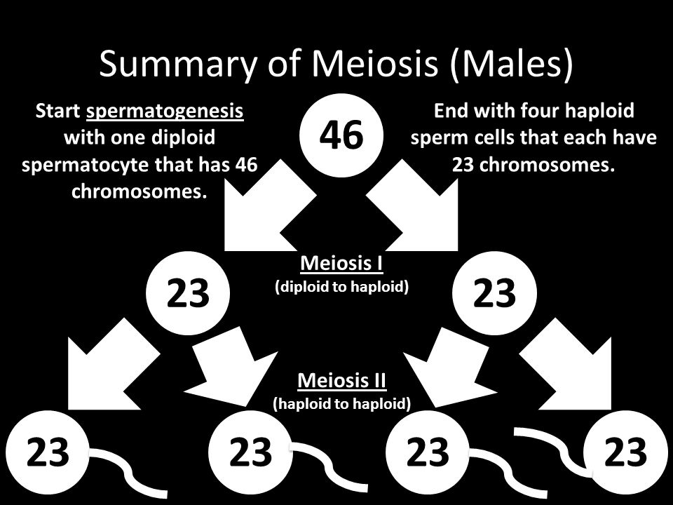 Summary of Meiosis (Males) 46 23 Start spermatogenesis with one diploid spermatocyte that has 46 chromosomes. Meiosis I (diploid to haploid) 23 Meiosi