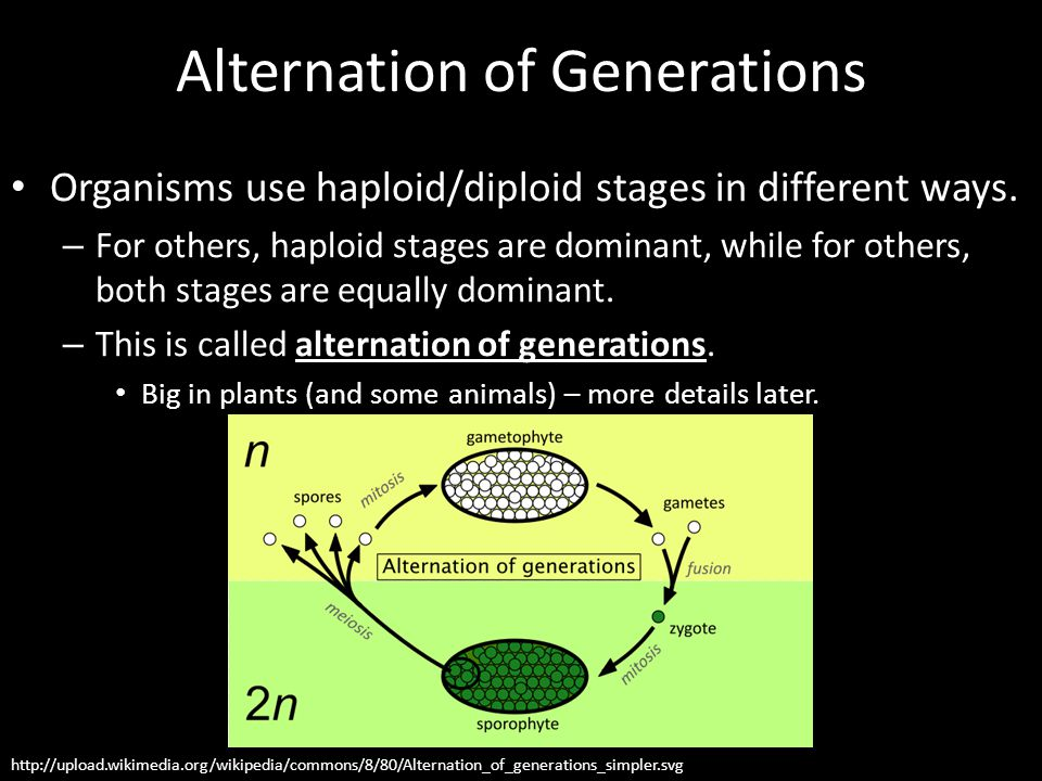 Alternation of Generations Organisms use haploid/diploid stages in different ways. – For others, haploid stages are dominant, while for others, both s