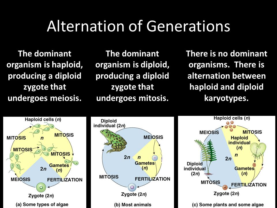 Alternation of Generations The dominant organism is haploid, producing a diploid zygote that undergoes meiosis. The dominant organism is diploid, prod