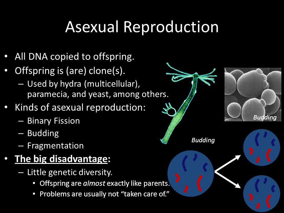 Asexual Reproduction All DNA copied to offspring. Offspring is (are) clone(s). – Used by hydra (multicellular), paramecia, and yeast, among others. Ki