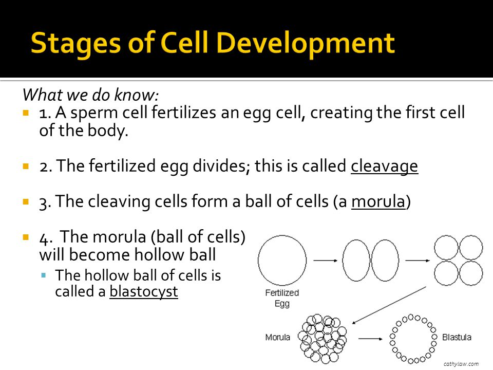What we do know:  1. A sperm cell fertilizes an egg cell, creating the first cell of the body.  2. The fertilized egg divides; this is called cleava