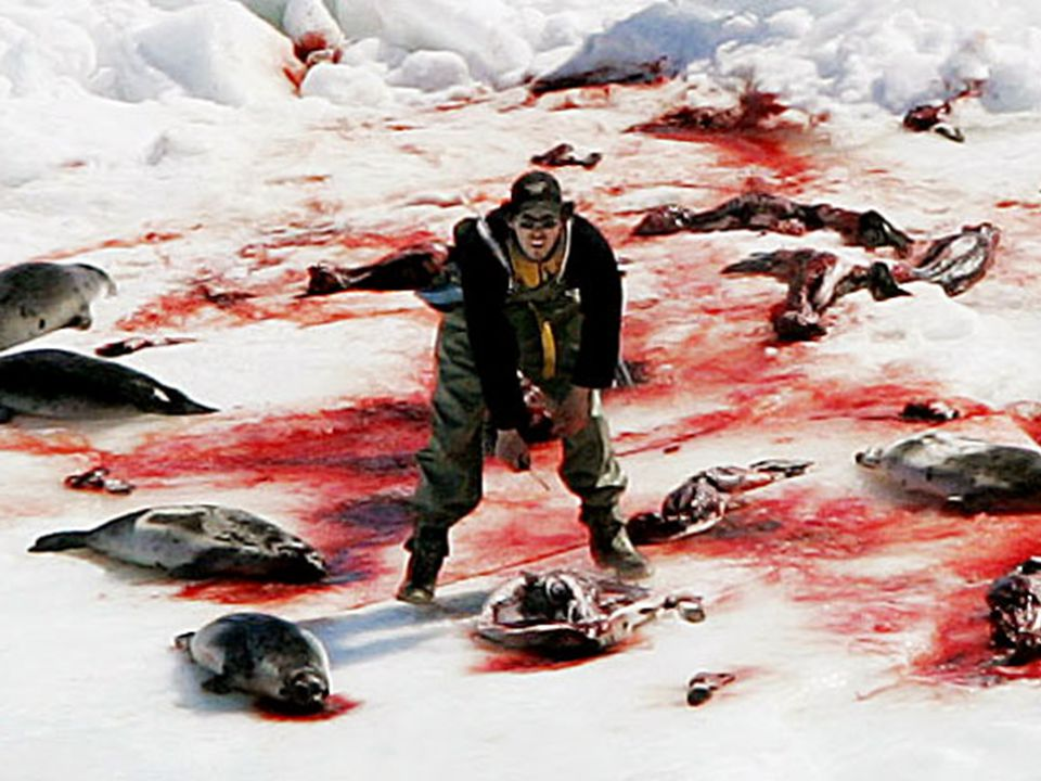 PLEASE JOIN US AND LET YOUR VOICE BE HEARD AGAINST THIS AND ALL FUR! THE SEALS NEED YOU!