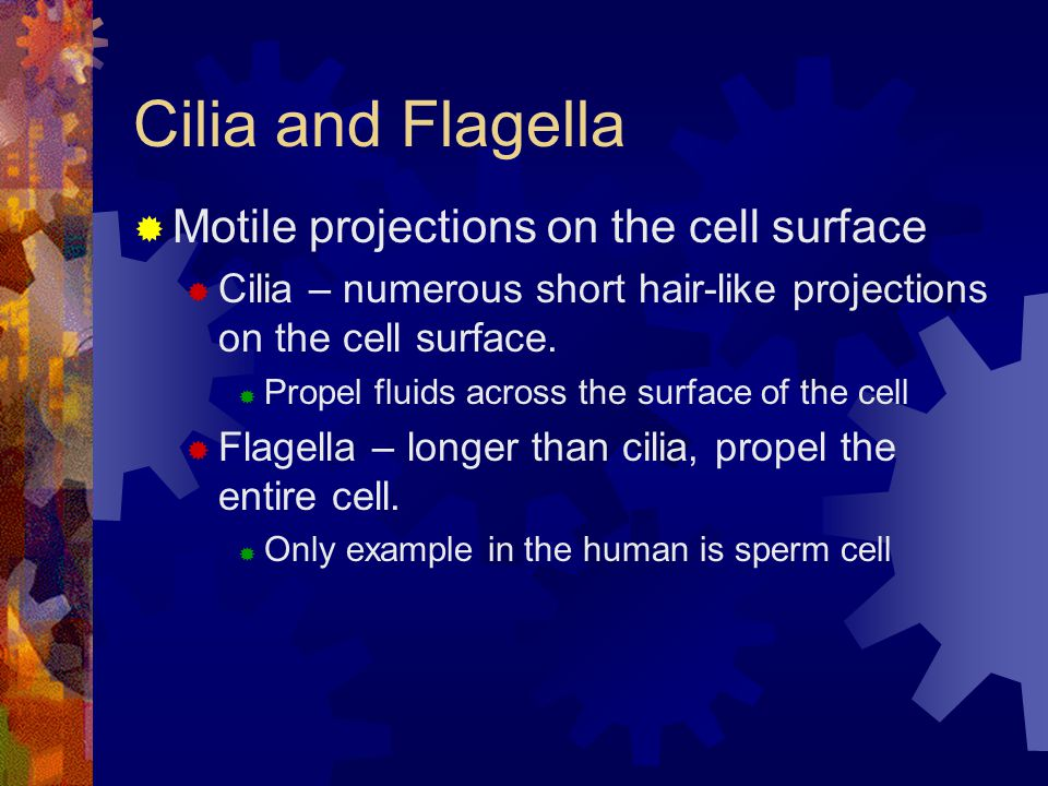 Cilia and Flagella  Motile projections on the cell surface  Cilia – numerous short hair-like projections on the cell surface.