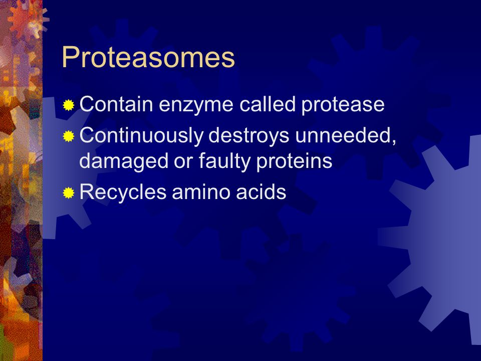 Proteasomes  Contain enzyme called protease  Continuously destroys unneeded, damaged or faulty proteins  Recycles amino acids