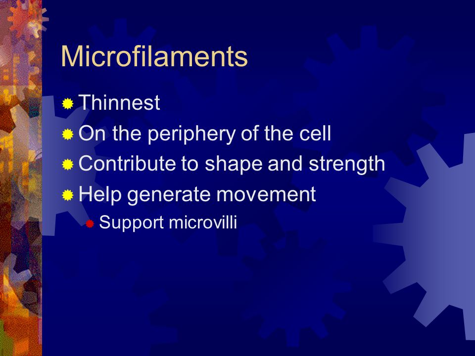 Microfilaments  Thinnest  On the periphery of the cell  Contribute to shape and strength  Help generate movement  Support microvilli