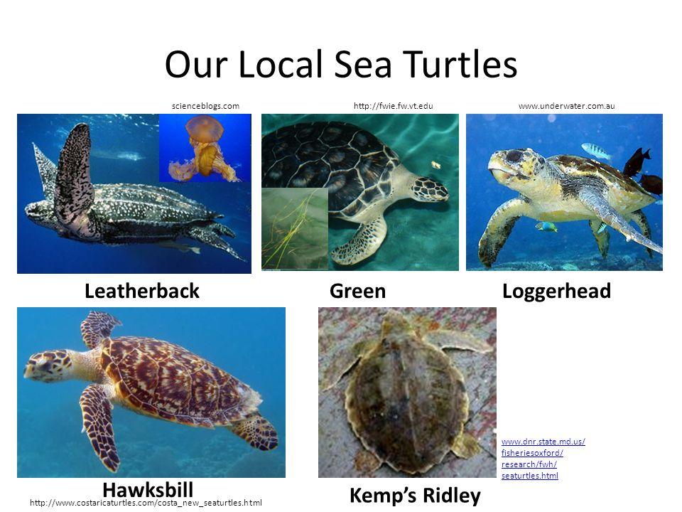 Our Local Sea Turtles Leatherback http://fwie.fw.vt.edu Green scienceblogs.comwww.underwater.com.au http://www.costaricaturtles.com/costa_new_seaturtl