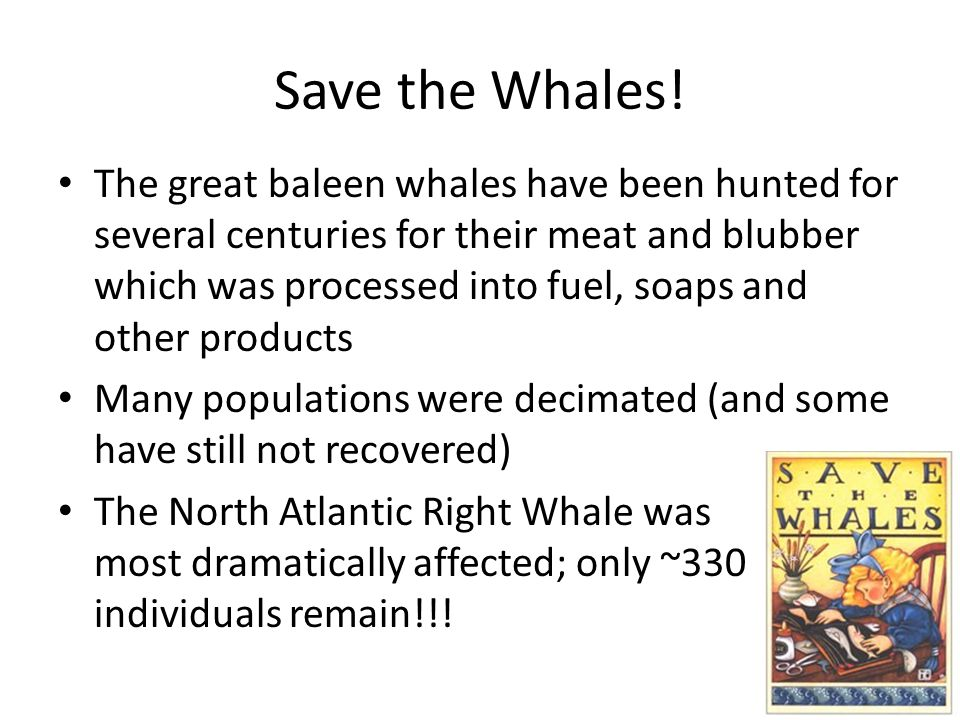 The great baleen whales have been hunted for several centuries for their meat and blubber which was processed into fuel, soaps and other products Many
