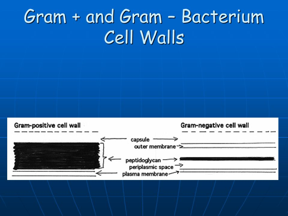 Gram + and Gram – Bacterium Cell Walls