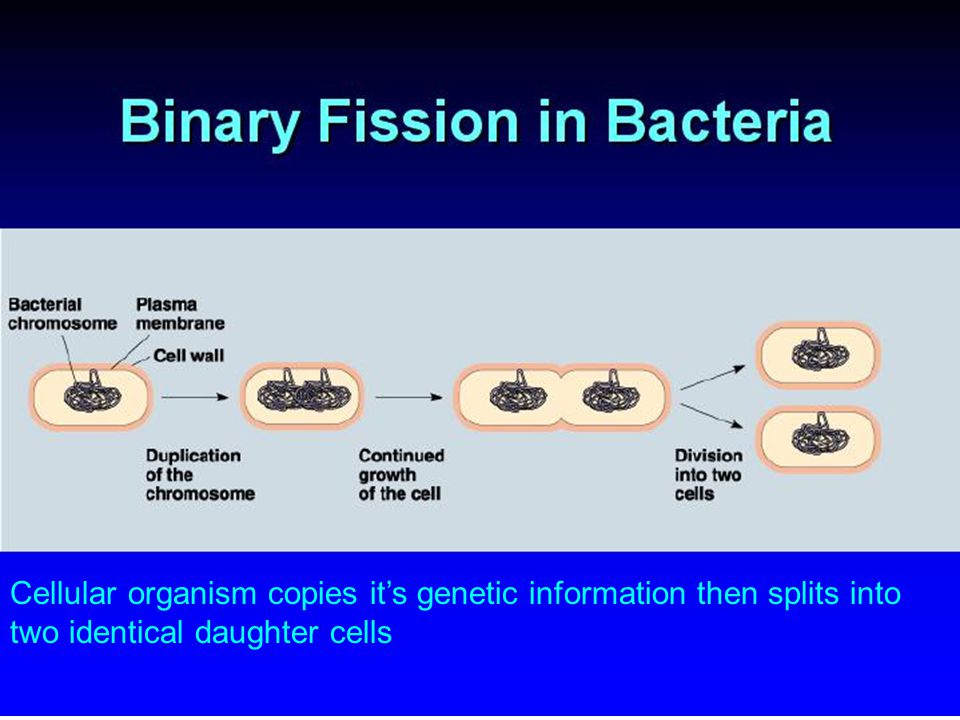 Cellular organism copies it's genetic information then splits into two identical daughter cells
